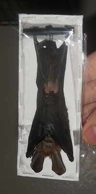 Nycteris javanica HANGING REAL BAT INDONESIA TAXIDERMY