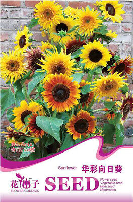 Original Package 20 Sunflower Seed Multicolor Helianthus Annuus Flower Seed A142