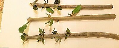 3 X Olive Tree Cuttings,Holy Land