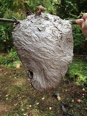 Wasp Nest.   i'd say it is a large one...