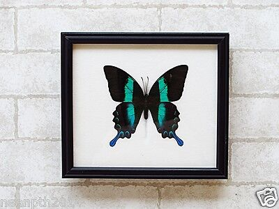 Real Big Papilio Blumei Butterfly Taxidermy Framed Insect Home Decoration
