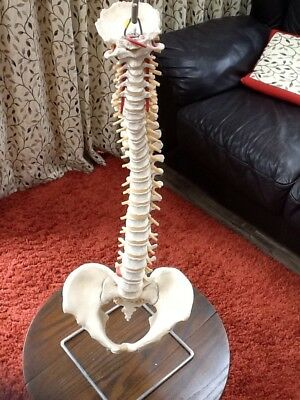 Human Spinal / spine column model full size on a stand