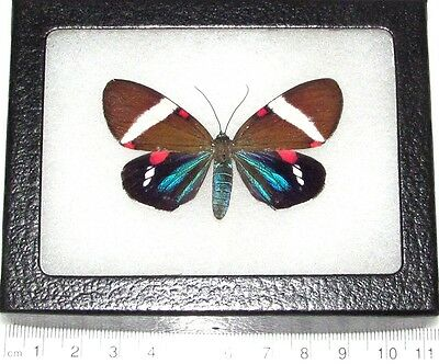Real Framed Day Flying Moth Blue Pink South American Hypocrita Drucei Recto D2