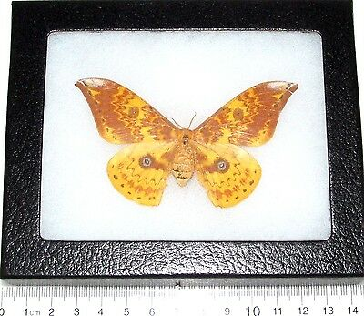 Real Framed Saturn Moth Syntheratoides Loeopoides Female Saturniidae Indonesia