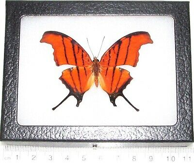 Real Framed Butterfly Red Orange Marpesia Patreus Daggerwing Peru