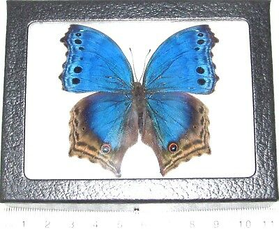 Real Framed Butterfly Blue Salamis Temora Africa T2