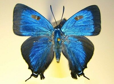 One Real Butterfly Blue Atledes Halesus Male Great Purple Hairstreak Arizona