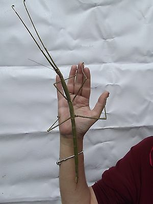 Phobaeticus Magnus stick insect eggs X 20 from mated females
