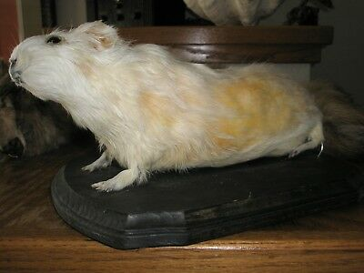 Guinea Pig Taxidermy rare real Vintage