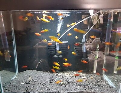 Assorted platy - live tropical aquarium fish - fry/juveniles - UK bred