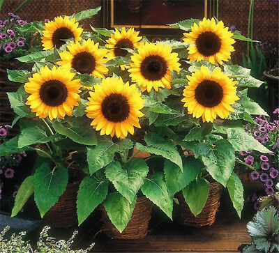 Dwarf Sunflower Seeds Bonsai potted plants Helianthus Annuus seeds