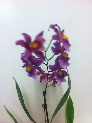 Mature Orchid. House/indoor Plants. 12 Cm Pot.