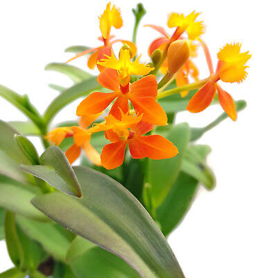 Epidendrum radicans Orange Blüten Schmetterlingsorchidee Orchidee Selten RAR