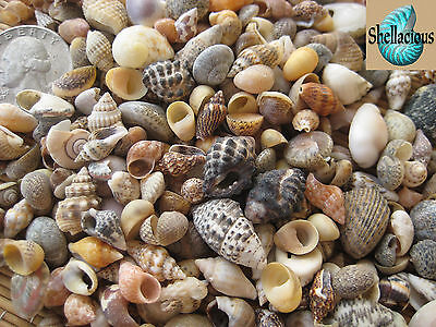 """250+ MIX OF TINY PHILIPPINE SEA SHELLS -5/8"""" & Under - 1/3 Cup"""