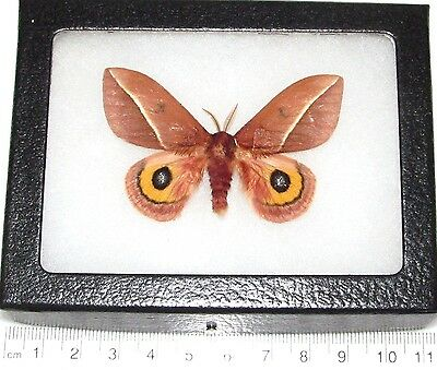 Real Framed Saturn Moth New Mexico Automeris Zephyria Saturniidae Red Male