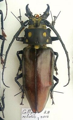 PRIONINAE Callipogon relictus MALE 89mm EXTREMELY RARE