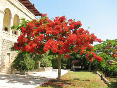 Delonix Regia Seeds,Outdoor Bonsai Tree Seeds Flame Of Forest Red Flowers