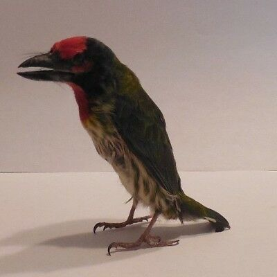 PSILOPOGON HAEMACEPHALUS CRIMSON BREASTED BARBET Real Bird Taxidermy Indo