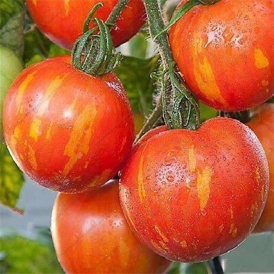 Stripe Tomato Seeds Red And Yellow Organic Fruits Vegetable Seeds 50pcs/bag