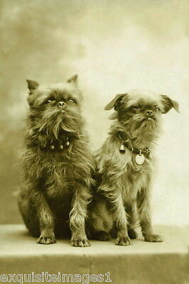 c1900 Photo~Two Brussels Griffon Puppy Dogs Sitting on Table~NEW Lge Note Cards