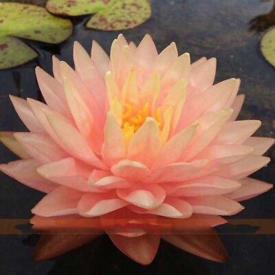 Water Lily Seeds Lotus Flower Seeds Perennial Water Lotos 1 Seeds/pack