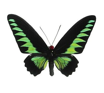One Real Trogonoptera Brookiana Male Green Black Raja Birdwing Wings Closed