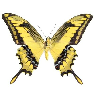 One Real Butterfly Yellow Papilio Heraclides Thoas Swallowtail Vers Wings Closed