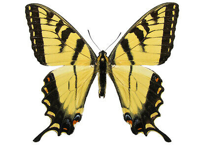 One Real Butterfly Yellow Eastern Tiger Swallowtail Papilio Glaucus Wings Closed