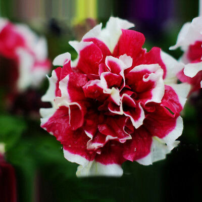 Petunia Petals Red Petals Petunia Bonsai Flower Petunia Flower Seeds 200 PCS