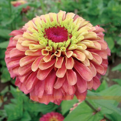Double Queen Red Zinnia Flower Seed Cut Flowers Large Blooms 50 Seeds/Pack