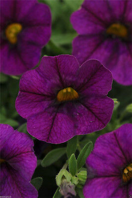 Purple Playmates Petunia Bonsai Petunia Flower Seeds 100Pcs