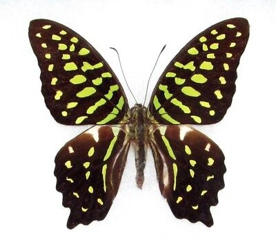 One Real Butterfly Green Graphium Agamemnon Unmounted Wings Closed