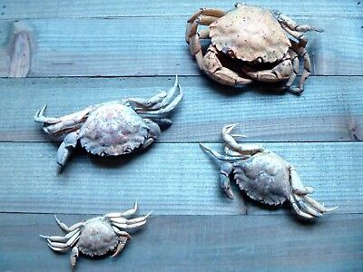 "Three Preserved European Green Shore Crabs 0.5"" - 5.0"" shells sealife dried crab"