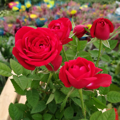 Red Rose Seeds Bonsai Flower Seeds Balcony Plant Rose Flower Seed 100 Pcs