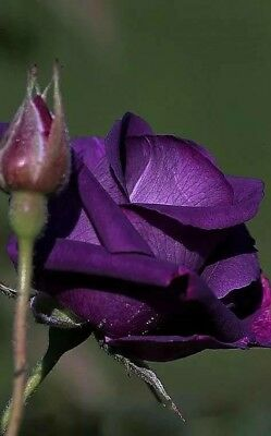 Purple Rose Seeds Beautiful Rose Seeds Bonsai Flower Rose Seeds 100 Pcs/Pack