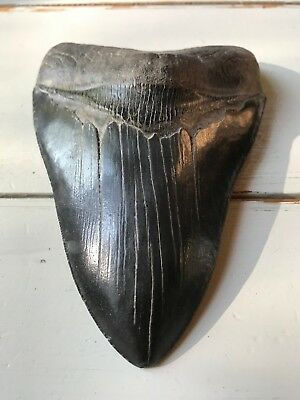 "5-7/8"" MEGALODON fossil Collector SHARK TOOTH teeth sharks"