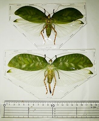 Orthoptera sp pair from West Java Indonesia