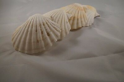 4 x Large Atlantic Scallop seashells.13 cm.for crafts & culinary use