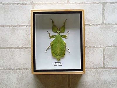 Real Leaf Insect Phyllium Celebicum Taxidermy In Wood Box Insect Art Home Decor