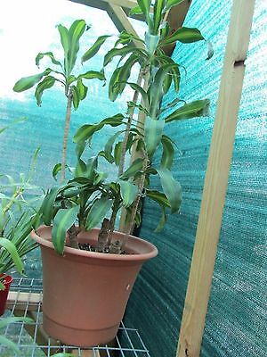 1 Meter happy plant in 50 cm pot, very healthy