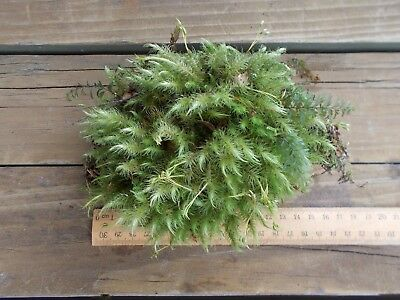 MOSS piece. Handful size. Very pretty, ...ONE ONLY!!!!!