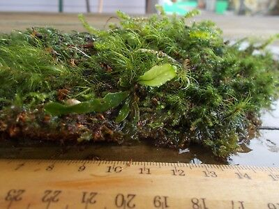 Finger fern MOSS piece. Handful size. Very pretty, ...ONE ONLY!!!!!