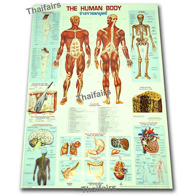 The Human Body Poster Anatomy Muscular Biology Physiology For Science Classroom