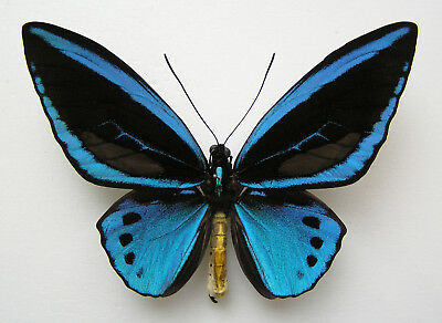 Ornithoptera Priamus Poseidon Form Divina (Blue Color). Extremely Rare Form !!!