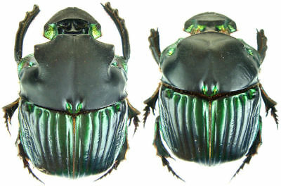 Pair Diabroctis Mimas Scarab Beetle Real Insect Thailand Taxidermy