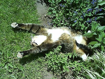 SEEDS 40 graines VERITABLE HERBE A CHAT (Nepeta Cataria) CATNIP SAMEN SEMI