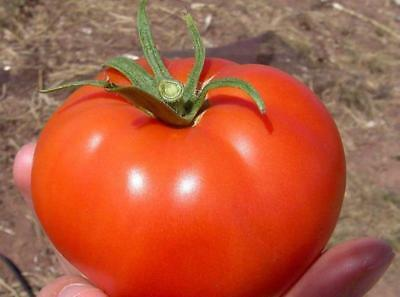 Seeds Tomato Volgograd Pink Large Vegetable Organic Russian Ukraine