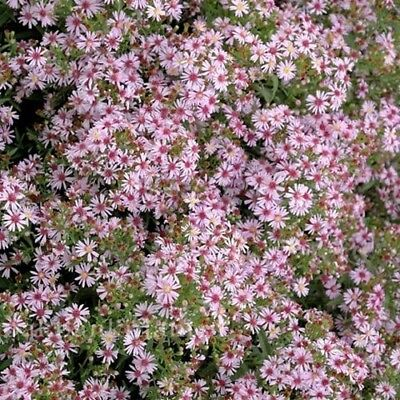 ASTER COOMBE FISHACRE perennial aster
