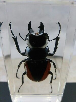 Real Insect huge  Stag Beetle Acrylic Lucite Paperweight