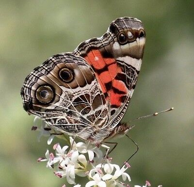 One Real Butterfly American Lady Vanessa Virginiensis Unmounted Wings Closed